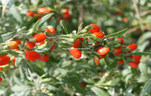 Dired Goji Berry Origined From Ningxia, China pictures & photos