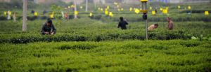 Real Organic Green Tea pictures & photos