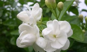 Jasmine Essential Oil Extracted by CO2 pictures & photos