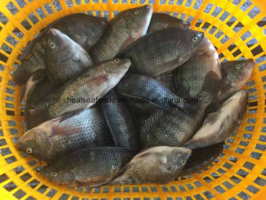 Chinese Frozen Black Tilapia Factory pictures & photos
