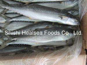 New Stock Frozen Spanish Mackerel 300-500g pictures & photos