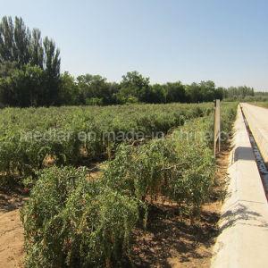 Medlar Lbp Brc ISO 9001 Kosher Dried Goji Berry pictures & photos