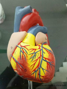 Wholesale Advance Human Heart Model
