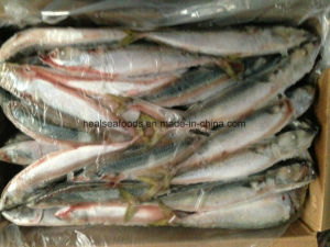 Whole Round Pacific Mackerel Fish pictures & photos