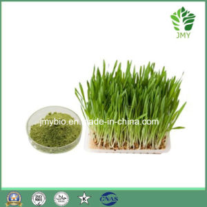 Organic Wheatgrass Extract Powder, 4: 1~10: 1, Rich Vitamin K pictures & photos