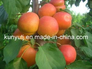 Apricot Puree with High Quality pictures & photos