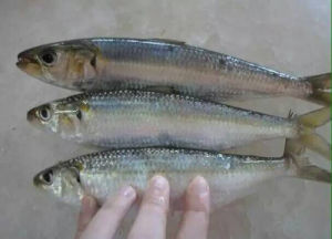 Frozen Fish New Style Pacific Sardine pictures & photos