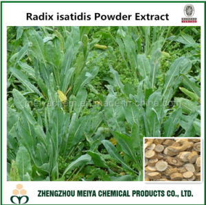 Natural Indigowoad/ Radix Isatidis Root Extract for Tcm Anti-Viral Ingredient pictures & photos