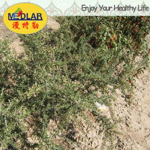 Medlar 2016 Fresh Organic Wolf Berry