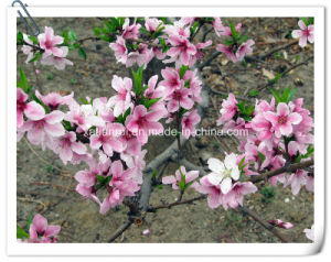 Manufacturer Natural Peach Blossom/Peach Flower 10: 1 Extract Powder pictures & photos