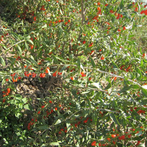 Medlar Lbp Organic Herbs Red Dried Goji Berry pictures & photos