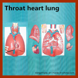Hot Sale Vivid Throat Heart Lung Anatomical Model pictures & photos