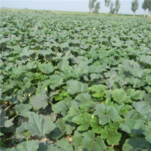 Shine Skin Pumpkin Seeds Kernels Grade AA From Inner Mongolia pictures & photos