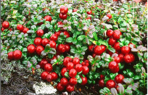 Wild Lingonberry Extract Powder (5%-70% Anthocyanin) / Wild Lingonberry Proanthocyanidins /OPC