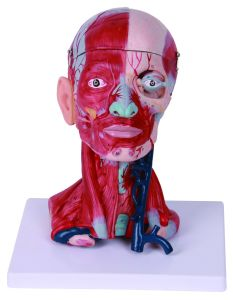 Head Muscle Model, Head and Neck Dissection Model, The Mucsles and Blood Nerves of Head and Neck