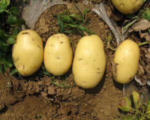 Holland Potato - 1