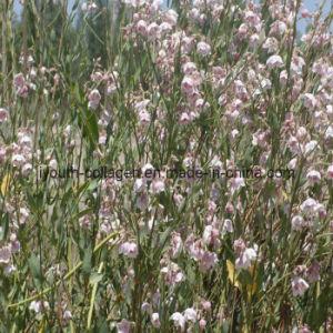 100% Natural Apocynum Venetum Pollen Tablets pictures & photos