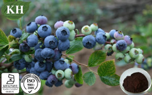 High Natural Bilberry Extract Anthocyanidins 15%-30%% by UV; pictures & photos