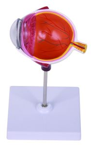Horizontal Cutting Half Eyeball Model pictures & photos