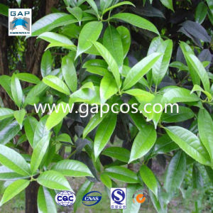 100% Natural High Quality Flocculus Banyan Extract