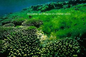 Natural Broken Cell Wall Chlorella Powder pictures & photos