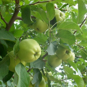 Chinese Fresh Golden Delicious Apple pictures & photos
