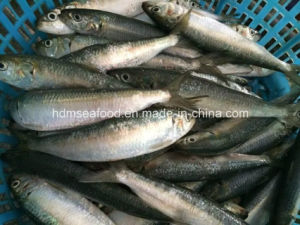 Light Catch Seafood Frozen Sardine Fish pictures & photos