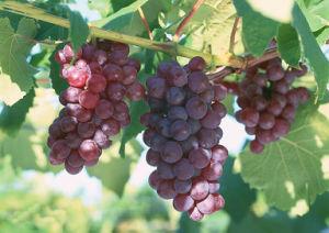 Grape Peel Extract Resveratrol CAS No. 501-36-0 pictures & photos