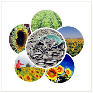 2016 Inner Mongolia Sunflower Seeds Kernels to Europe pictures & photos