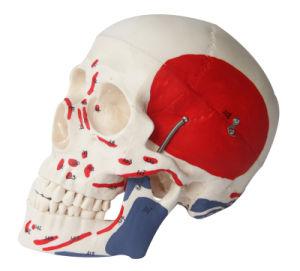 Natural Size Muscular Skull Model, 3 Parts