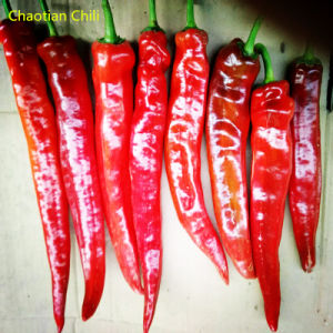 Yidu Chilli pictures & photos
