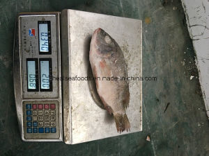 Frozen Tilapia for African Market pictures & photos