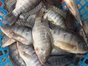 Farm Frozen Tilapia Made in Fujian pictures & photos