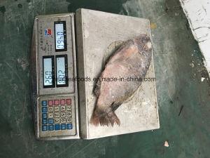 Frozen Tilapia Fish Buyer pictures & photos