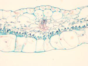 Microscope Prepared Slides, Common Plant Slides pictures & photos