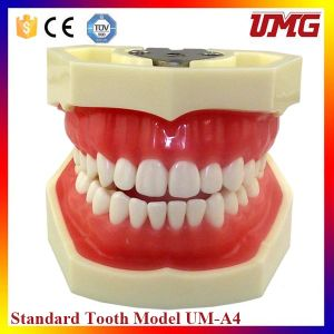 Top Selling Good Price Teeth Care Model with 28 Teeth pictures & photos