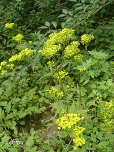 100% Natural Dahurian Patrinia Herb P. E pictures & photos