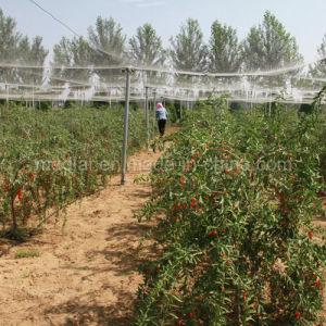 Fresh Ningxia Goji Berry pictures & photos