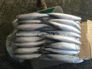 200-300g Frozen Pacific Mackerel Fish pictures & photos