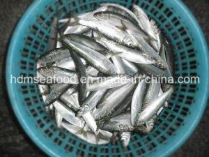 Frozen Sardine for Tuna Bait (Sardinella aurita) pictures & photos