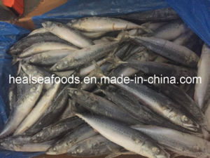 Frozen Pacific Mackerel Cheap Price 200-300g pictures & photos