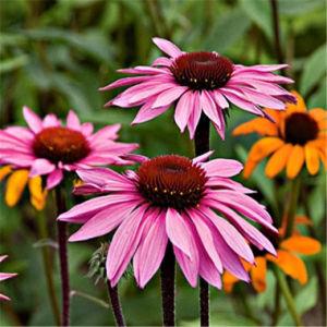 Echinacea Purpurea/Echinacea Extract pictures & photos