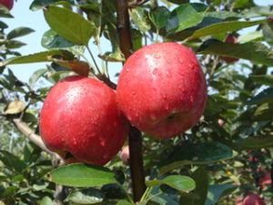 Huaniu Apple - 5