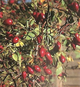 Rose Hip Extract & Acerola Extract pictures & photos
