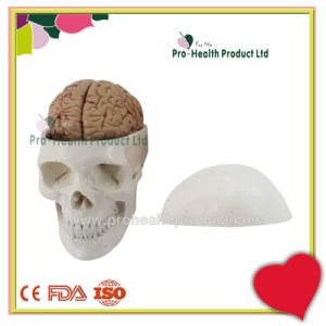Plastic PVC Skull Model Including Teaching Detachable Brain Model pictures & photos
