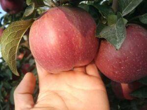2017 Chinese Fresh Red Star Apple pictures & photos