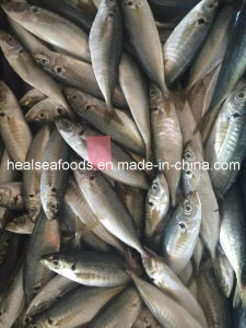 New Landing Frozen Yellow Tail Scad Fish pictures & photos