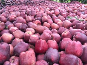 First Quality Red Delicious Apple Supplier pictures & photos