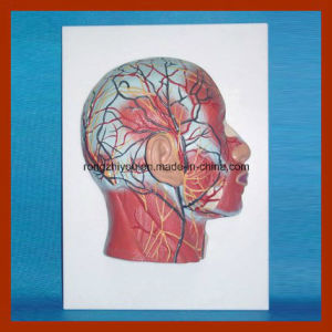 Half Head Model with Musculature Blood Vessels Nerves pictures & photos