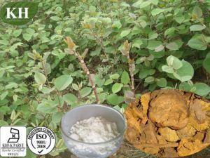Polygonum Cuspidatum Extract Polydatin 98% 99% pictures & photos